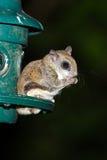 Southern Flying Squirrel. Feeding at night Stock Photos