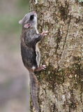 Southern Flying Squirrel (Glaucomys volans) Royalty Free Stock Photography