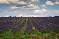 Southern France, lavender field in Provence Stock Photo