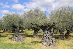 Southern France: the olive trees in Provence Royalty Free Stock Images