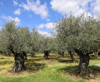 Southern France: the olive trees in Provence Stock Photos