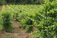 Southern france vineyard Royalty Free Stock Photo
