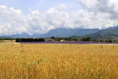 Southern France: wheat and lavender fields Royalty Free Stock Photos
