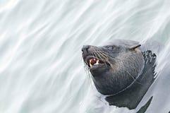 Southern fur seal (Arctocephalus pusillus) Royalty Free Stock Photography