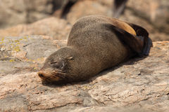 Southern Fur Seal Asleep On Warm Rock Royalty Free Stock Images