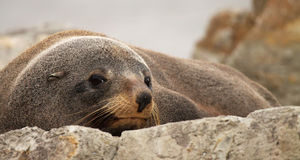 Southern Fur Seal Sunning Royalty Free Stock Photo