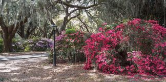 Southern Garden Charleston South Carolina. Southern garden of spring blooming azaleas, live oak trees and hanging moss at Charles Towne Landing in Charleston royalty free stock photos