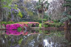 Southern Lowcountry Azalea and Wisteria Garden. Southern garden of hanging moss, pink azaleas and purple wisteria in bloom with reflections in water at Magnolia royalty free stock photo