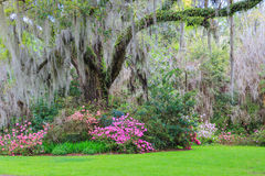 Southern Garden Live Oak Tree Hanging Moss Azaleas. Lush green southern garden of colorful azaleas under the arched limbs of an old live oak tree with hanging Royalty Free Stock Images