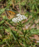Southern Gatekeeper on Wild Carrot Royalty Free Stock Photography