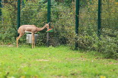 Southern gerenuk Stock Photography