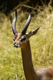Southern Gerenuk Gazelle Stock Photo