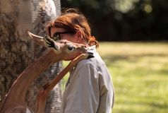 Southern Gerenuk gives a member of the San Diego Zoo Safari park Stock Photography