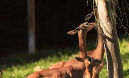 Southern gerenuk, Litocranius walleri Stock Photos