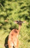 Southern gerenuk, Litocranius walleri Royalty Free Stock Image