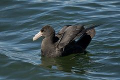 Southern Giant Petrel. On the water of the Beagle Channel in Ushuaia, Tierra del Fuego Stock Photos