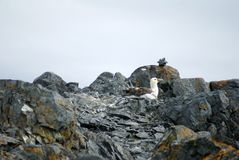 Southern giant petrel in Antarctica. Southern giant petrel - Macronectes giganteus - nesting in the rocks in Antarctica Royalty Free Stock Photo