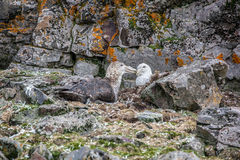 Southern Giant Petrel couple in love, Antarctica Royalty Free Stock Photos