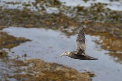 Southern Giant Petrel in flight. Southern Giant Petrel [Macronectes giganteus] flying along the coast of Bleaker Island in the Falkland Islands Stock Photo