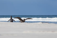 Southern Giant Petrel and Gentoo Penguin on beach. Falkland Isla royalty free stock images