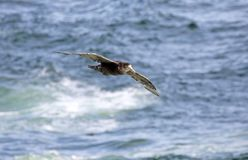Southern giant petrel, macronectes giganteus, in flight above surfs of Antarctica. Southern giant petrel, macronectes giganteus, in flight with blue sea surf of Stock Images