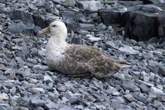 Southern giant petrel in Antarctica. Southern giant petrel - Macronectes giganteus - lying on pebbles in Antarctica Royalty Free Stock Photography