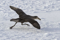 Southern giant petrel during takeoff from the ice fields of Anta Royalty Free Stock Images