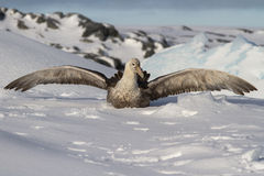 Southern giant petrel which sits in snow having opened wings. Southern giant petrel which sits in the snow having opened wings Royalty Free Stock Photo