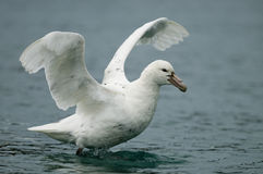 Southern Giant Petrel - White Morph Stock Image
