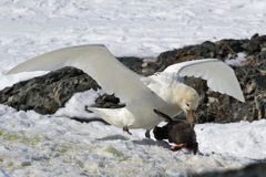 Southern giant petrel white morphs who eats penguin chick Stock Photo