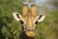 Southern african animals. Southern giraffe bull in the Kruger National Park Royalty Free Stock Photo