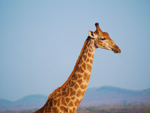 Southern giraffe Royalty Free Stock Photography
