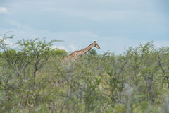 Southern giraffe Stock Images