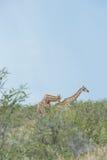Southern giraffe Stock Photos