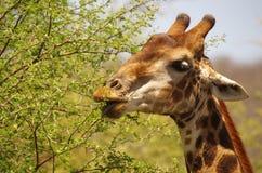 Southern giraffe. Feeding at a tree Royalty Free Stock Photos