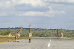 Southern Giraffe (Giraffa camelopardalis) five males walking dow Royalty Free Stock Photography