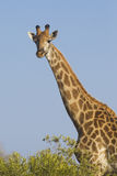 Southern Giraffe, (Giraffa camelopardalis), South Africa. Southern Giraffe (Giraffa camelopardalis) in South Africa's Kruger Park Royalty Free Stock Photography