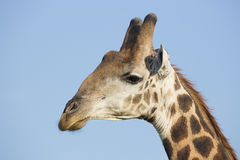 Southern Giraffe (Giraffa camelopardalis) South Africa Stock Images