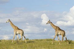 Southern Giraffe (Giraffa camelopardalis) two males walking in S Stock Photography