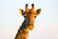 Southern african animals. Southern giraffe at Kruger National Park Royalty Free Stock Image