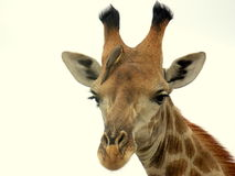 Southern african animals. Southern giraffe looking from above Stock Image