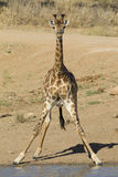Southern Giraffe, South Africa. Southern Giraffe (Giraffa camelopardalis) bending to drink in South Africa's Kruger Park Royalty Free Stock Photos