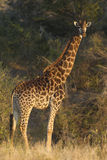 Southern Giraffe, South Africa. Southern Giraffe (Giraffa camelopardalis) in South Africa's Kruger Park Stock Images
