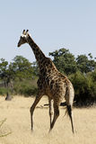 The South African Giraffe. The tallest living, largest ruminant, terrestrial animal in the world Royalty Free Stock Photo