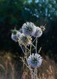 Echinops ritro in bloom. Southern Globethistle Echinops ritro in bloom. Blue thistles royalty free stock images