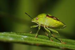 Southern Green Shieldbug, Green Stink Bug Nezara viridula Royalty Free Stock Photo