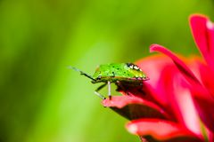 Southern green stink bug larva on red flower Royalty Free Stock Image