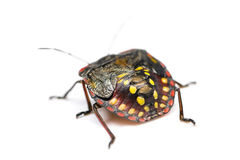 Southern green stink bug Stock Photos