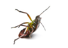 Southern green stink bug, Nezara viridula, falling Royalty Free Stock Image