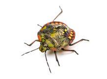 Southern green stink bug, Nezara viridula Stock Photography